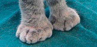 F_MY14_vet_polydactyl_toes_F
