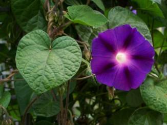 Ipomoea purpurea, Tall Morning-glory