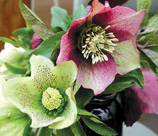 Hellebores - Anything but Boring