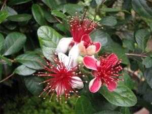 MY14_Feijoa_flower