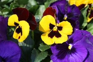 MY14_pansies