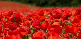 R_poppies