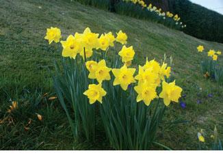 Se_14_Daffodils