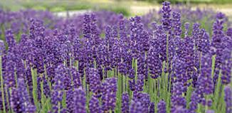 DE14_Lavender