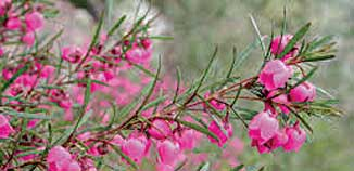 F_No14_pink-boronia