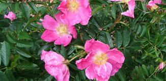 Corylus Rugosa Rose