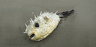 FE15_R_pufferfish2