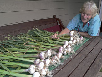 Plenty of fresh garlic is now on sale at the Thursday produce sale. TTO member Dee Armstrong shows off her crop