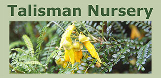 The Cook Strait Kowhai is a great plant for urban Otaki gardens as it naturally occurs in exposed coastal habitats. It is also smaller in stature than most Kowhai and flowers for an extended period throughout winter, making it one of the best natives for attracting Tui into your garden over winter.