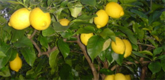 F-JN15-lemon