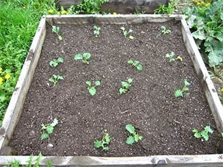 MY15_garden-tasks-kale.jpg