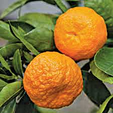 "MANDARIN ""BAY SWEETIE"" N.Z bred mandarin, easy peel, sweet juicy fruit with an exceptional flavour. High Health. Plant in sunny, sheltered position. 3 x 2 m"