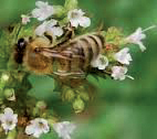 AU15_bee-queen-on-manuka