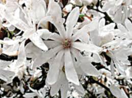 AU15_garden-Magnolia-Stellata.jpg