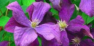 F_AU15_garden-clematis.jpg