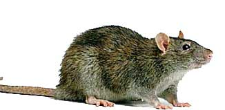 F_JL15_vet-rat