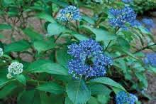 F_JUL15_garden-teh-dichroa2