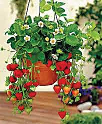 JUL15_garden-wats-strawberries-basket