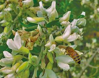Honey bee on tree lucerne
