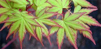 F_OC15-garden-te-horo-maple.jpg