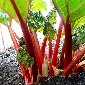 Glaskins Perpetual Rhubarb