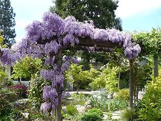 OC15-garden-te-horo-wisteria-p.jpg