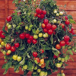 OC15-garden-watsons-tomato.jpg