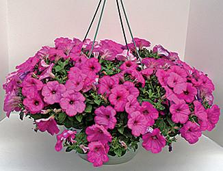 OC15_garden-Watsons-PetuniaBasket.jpg
