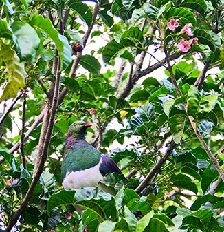 OC15_garden-kereru-in-puriri.jpg