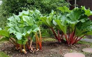 OC15_garden-rhubarb.jpg