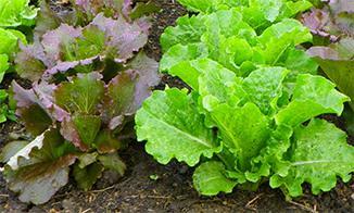 OC15_lettuce