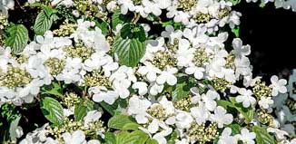 F_NO15_garden-TH-viburnum-snowflake.jpg
