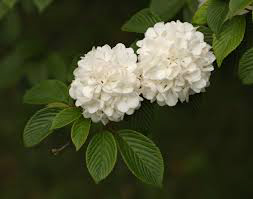 NO15_garden-TH-Viburnum-snowball.jpg