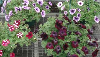 NO15_garden-Wat-petunias1.jpg