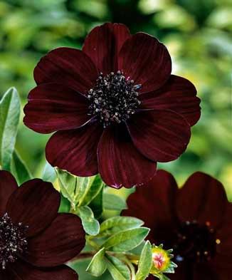 NO15_garden-scented-Cosmos-choc.jpg