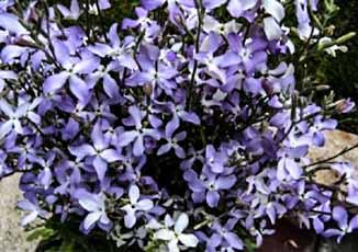 NO15_garden-scented-night-scented-stock.jpg