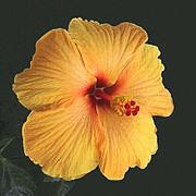 XS15_garden_Hibiscus180px-Fire01