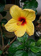 XS15_garden_Hibiscus_rosa-sinensis1