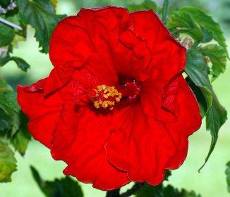 XS15_garden_Hibiscus_rosa-sinensis_(aka)