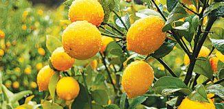 FE16_F_lemon-on-tree