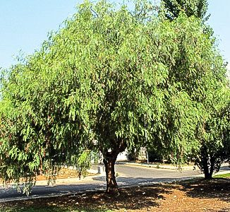 Echinus Molle California Pepper