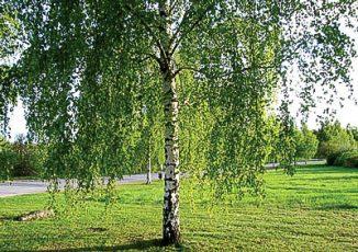 JL16_garden-betula-pendula