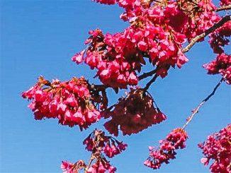 Prunus Camanulala