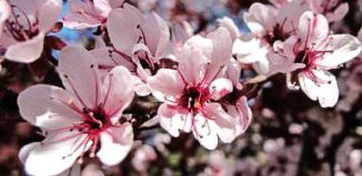 Purple-leaved cherry blossom